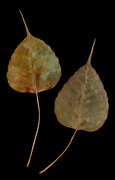 Dried leaves from a Bodhi tree (Ficus religiosa)